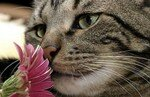 cat_grey_with_pink_flower