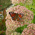 papillon paon du jour ou inachis io