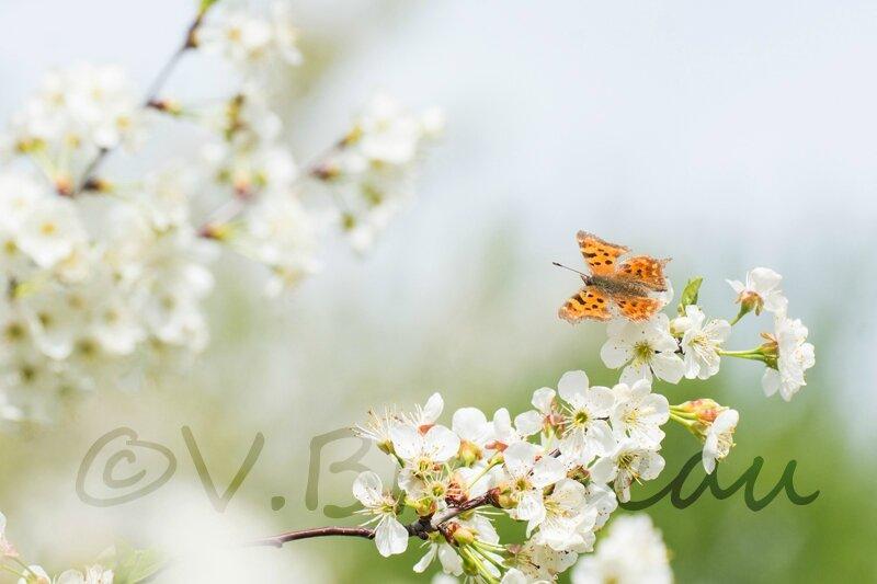 papillon-cerisier14-04