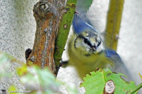 Mésange-bleue