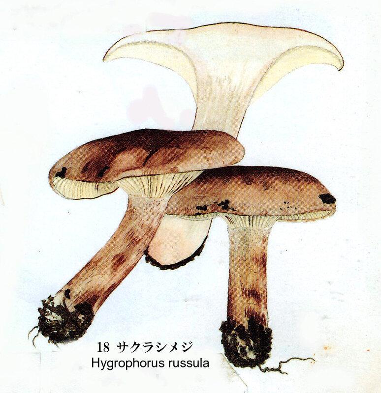 Hygrophorus russula IH1 pl 3 no 18
