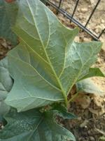 Datura 112288486.to_resize_150x3000