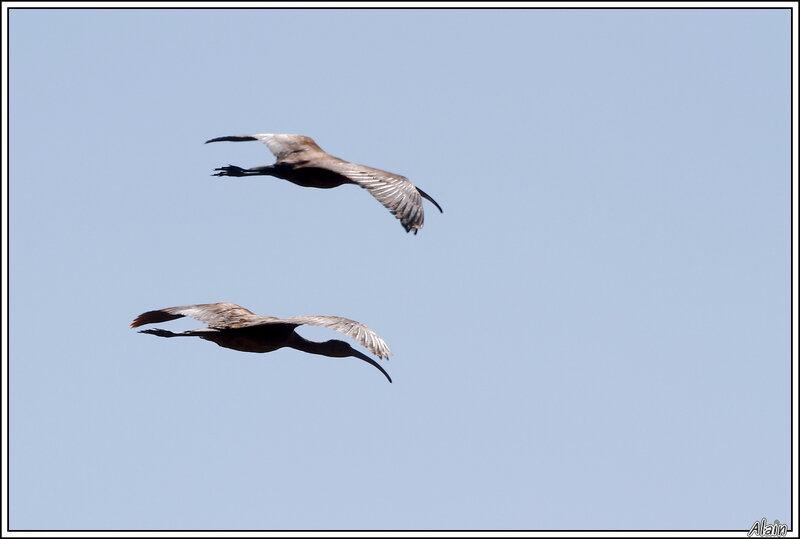 ...deux Ibis falcinelles !
