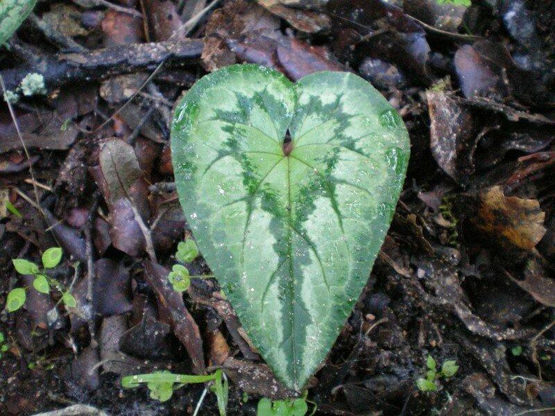 1-Cyclamen sauvage (feuille en coeur)