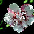 La fleur de l'été
