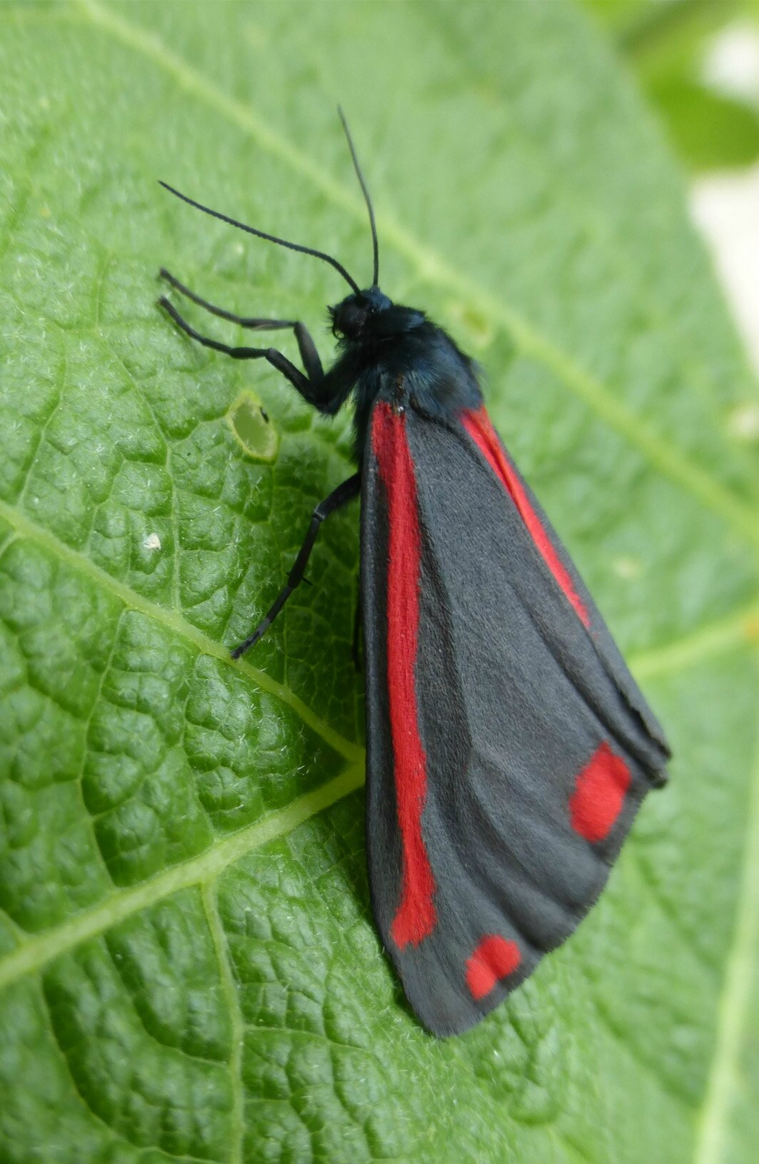 papillon gris et rouge cmamikf e. Black Bedroom Furniture Sets. Home Design Ideas