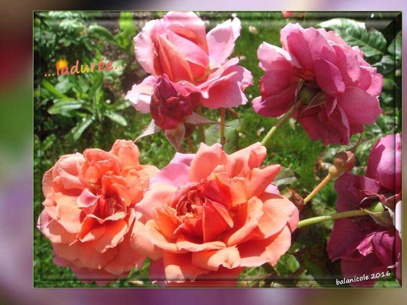 balanicole_2016_11_les nouveaux rosiers de balanicole_L comme ladurée_08
