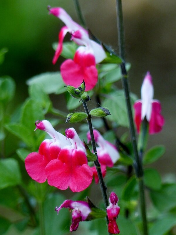 Salvia Hot Lips (2)