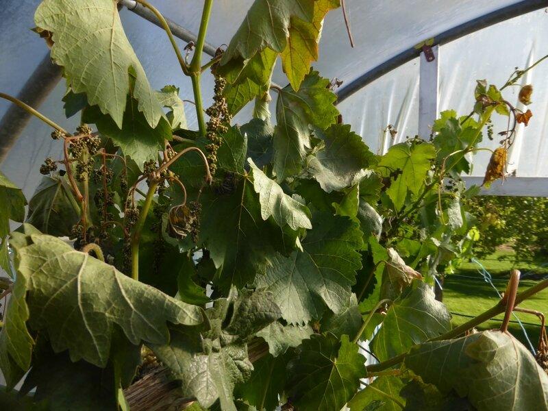 29-vigne (1)