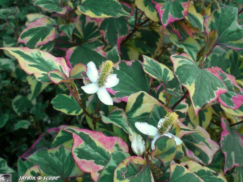 Houttuynia une plante originale au feuillage tricolore le jardinoscope toute la flore et - Lierre rampant couvre sol ...