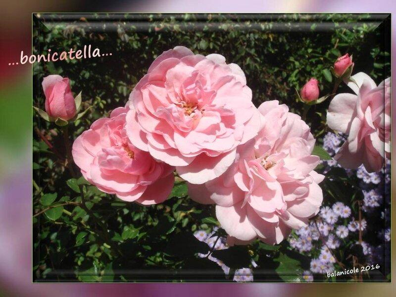 balanicole_2016_11_les nouveaux rosiers de balanicole_B comme bonicatella_05