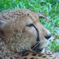 4- le zoo, félins, LE GUEPARD (6)