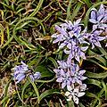L'herbier: scille de printemps