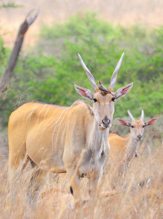 Elands_du_Cap__m_re_et_son_petit__parc_de_Nairobi__Kenya