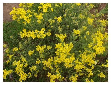 DSCF0425mousse jaune
