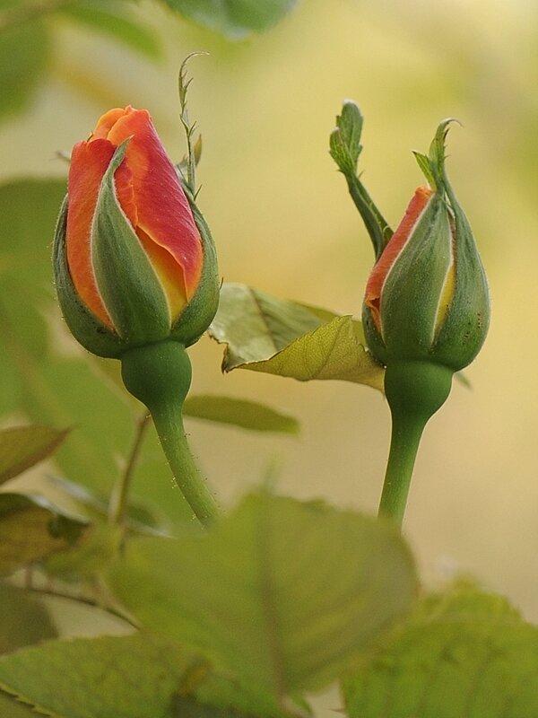 Boutons de rose deux