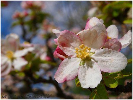 fleurs du pommier le gite du lacaudry