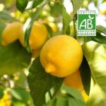 Citrons-bio_Fotolia_12372238_Subscription_L_1