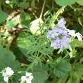 fleurs du jardin et autres 20 07 2010 046