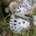 Papillons de l'été: petit apollon