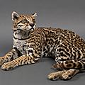 Ocelot couché, leopardus pardalis.