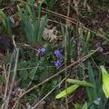 violettes et jonquilles