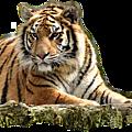 animal-tigre5