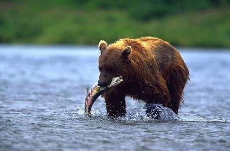 alaskan_brown_bear_4226