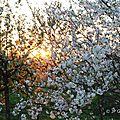 Cerisiers en fleur au soleil couchant