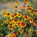 2008 09 10 Mes rudbeckias en fleur
