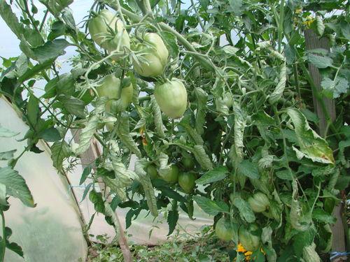 2008 08 08 Mes tomates coeur de boeuf sous serre