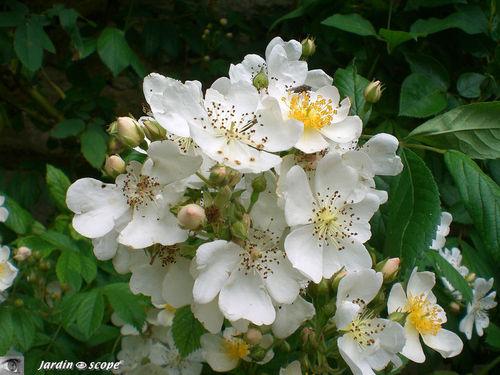 Un rosier qui grimpe aux arbres…!