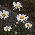 2009 07 14 Fleurs de marguerites