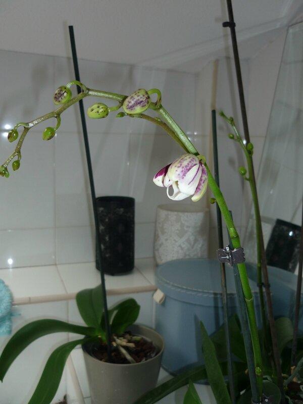 orchidee umpflanzen