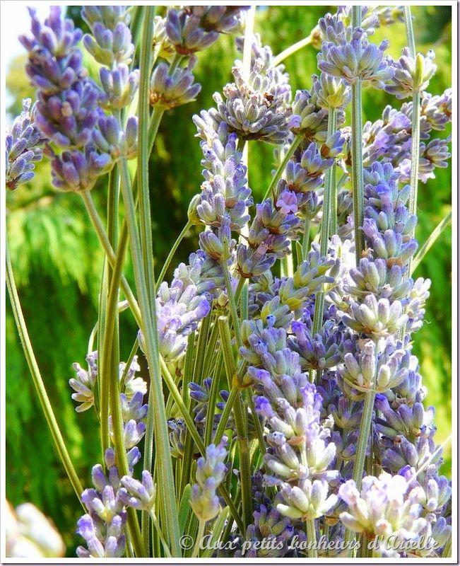 Bleu lavande (1)