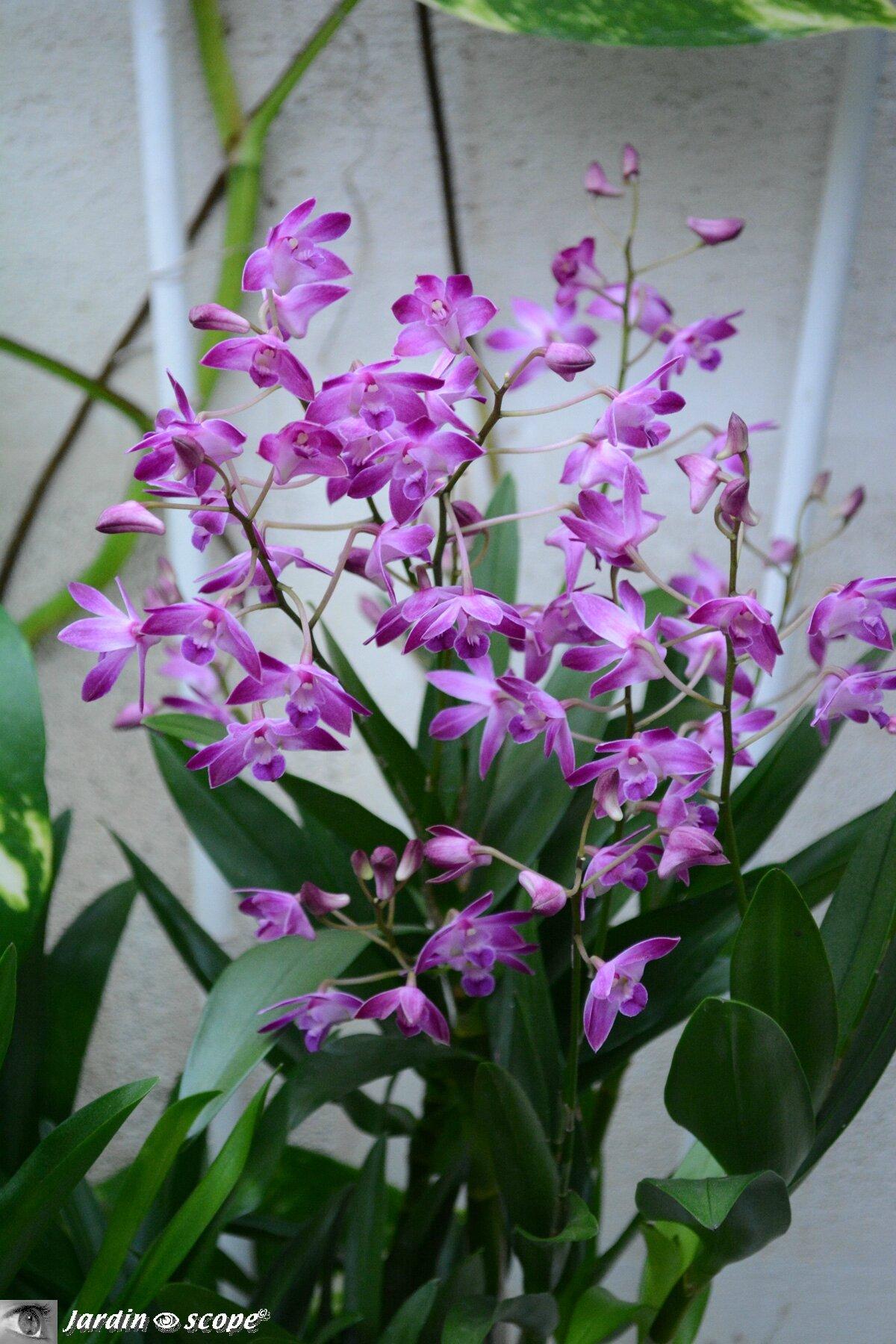 Orchidée-272