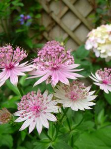 astrantia_and_fly