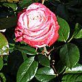 La roseraie de buisson rond