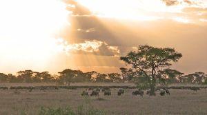 Parc de Serengeti, gnous
