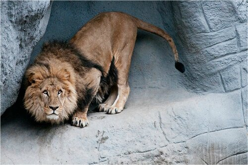 lion male criniere