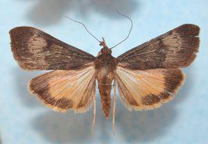 Uresiphita polygonalis 02 (2)