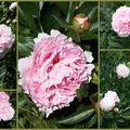 Les fleurs de mon jardin ...