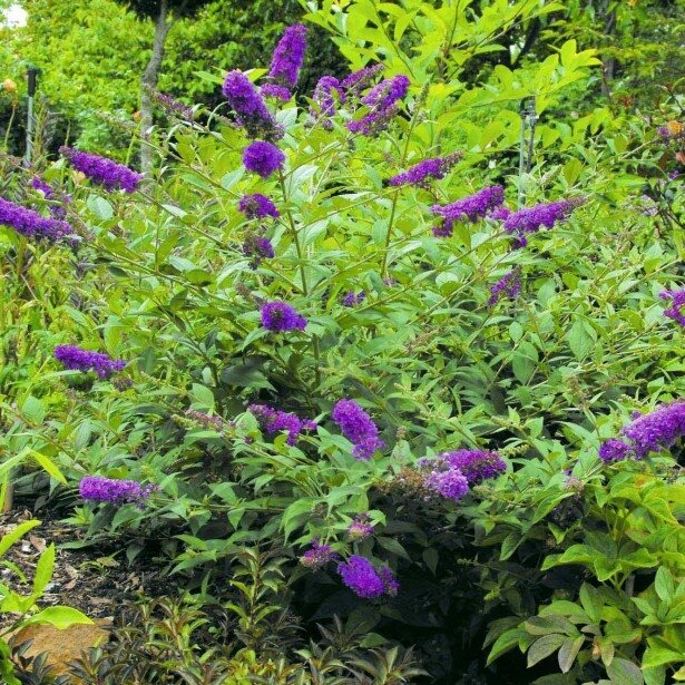 "Buddleja ""blue chip"""