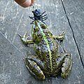 Frog au mushi