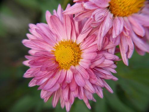 2008 10 11 Une fleur de chrysanthème rose