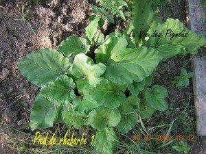 rhubarbe1