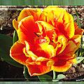 balanicole_2017_05_le printemps des tulipes_11_orangé jaune