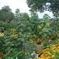 2008 08 31 Mes tournesols du plus petit au plus grand