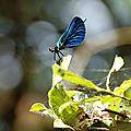 Les libellules.