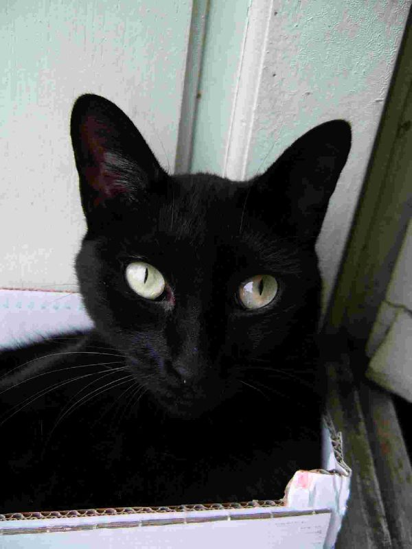 C 39 est bizarre mes oreilles ont grandi chat noir femelle photo de k mes chats pitres crea - Mes chats ont des puces ...